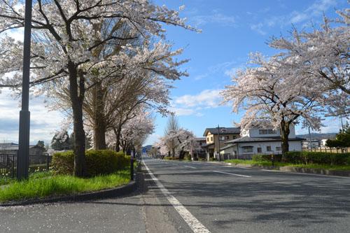 平泉桜並木